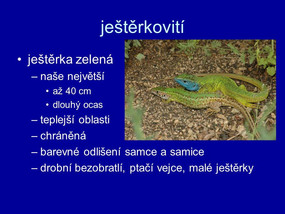 ještěrkovití ještěrka zelená –naše největší až 40 cm dlouhý ocas –teplejší oblasti –chráněná –barevné odlišení samce a samice –drobní bezobratlí, ptačí vejce, malé ještěrky