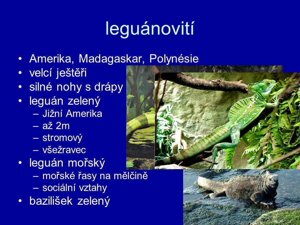 leguánovití Amerika, Madagaskar, Polynésie velcí ještěři silné nohy s drápy leguán zelený –Jižní Amerika –až 2m –stromový –všežravec leguán mořský –mořské řasy na mělčině –sociální vztahy bazilišek zelený