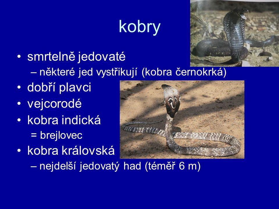 kobry smrtelně jedovaté –některé jed vystřikují (kobra černokrká) dobří plavci vejcorodé kobra indická = brejlovec kobra královská –nejdelší jedovatý had (téměř 6 m)