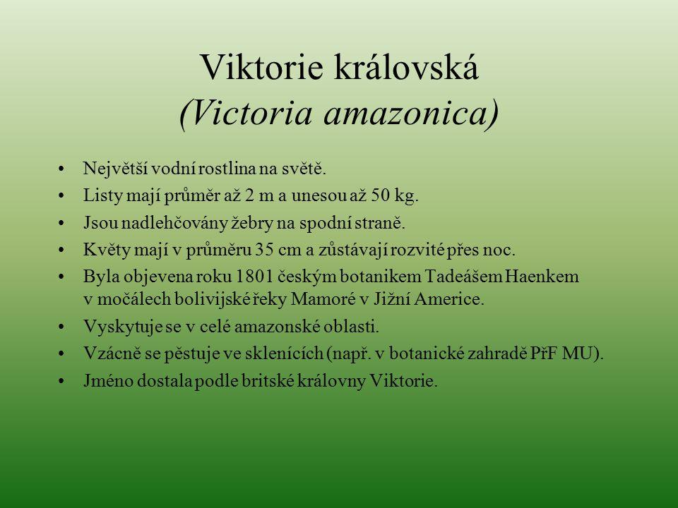 Viktorie královská (Victoria amazonica) Největší vodní rostlina na světě. Listy mají průměr až 2 m a unesou až 50 kg. Jsou nadlehčovány žebry na spodn