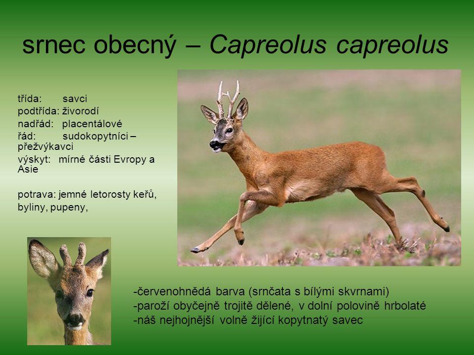 srnec obecný – Capreolus capreolus třída: savci podtřída: živorodí nadřád: placentálové řád: sudokopytníci – přežvýkavci výskyt: mírné části Evropy a