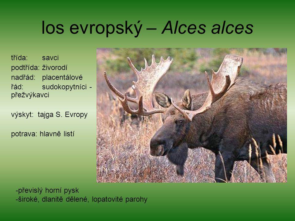 los evropský – Alces alces třída: savci podtřída: živorodí nadřád: placentálové řád: sudokopytníci - přežvýkavci výskyt: tajga S. Evropy potrava: hlav
