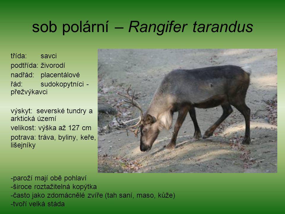 sob polární – Rangifer tarandus třída: savci podtřída: živorodí nadřád: placentálové řád: sudokopytníci - přežvýkavci výskyt: severské tundry a arktic