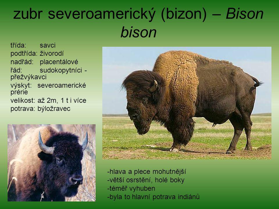 zubr severoamerický (bizon) – Bison bison třída: savci podtřída: živorodí nadřád: placentálové řád: sudokopytníci - přežvýkavci výskyt: severoamerické