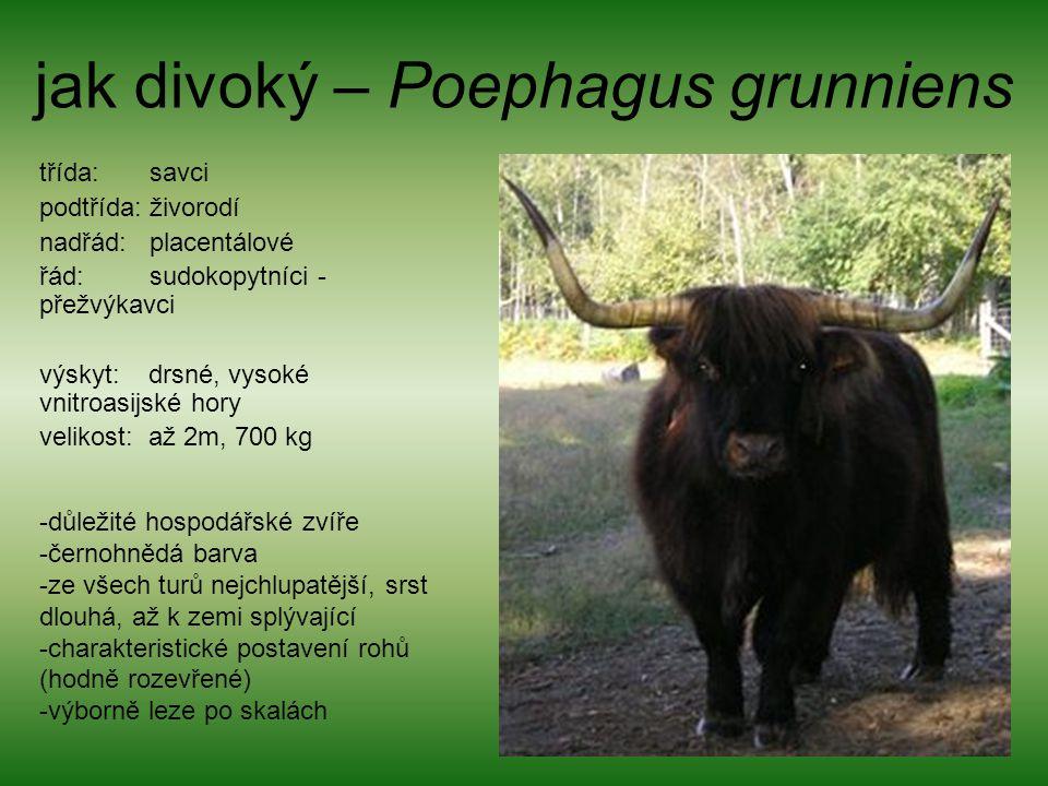 jak divoký – Poephagus grunniens třída: savci podtřída: živorodí nadřád: placentálové řád: sudokopytníci - přežvýkavci výskyt: drsné, vysoké vnitroasi