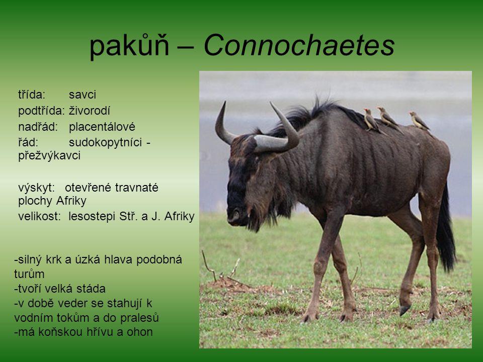 pakůň – Connochaetes třída: savci podtřída: živorodí nadřád: placentálové řád: sudokopytníci - přežvýkavci výskyt: otevřené travnaté plochy Afriky vel