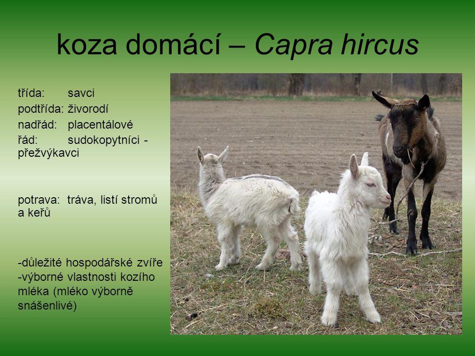 koza domácí – Capra hircus třída: savci podtřída: živorodí nadřád: placentálové řád: sudokopytníci - přežvýkavci potrava: tráva, listí stromů a keřů -