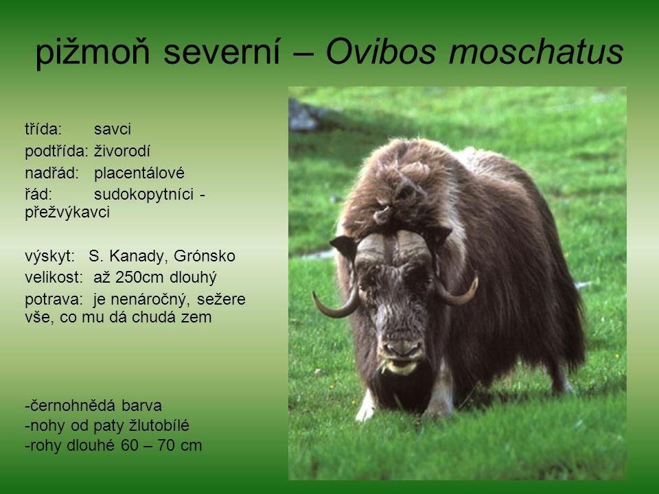 pižmoň severní – Ovibos moschatus třída: savci podtřída: živorodí nadřád: placentálové řád: sudokopytníci - přežvýkavci výskyt: S. Kanady, Grónsko vel
