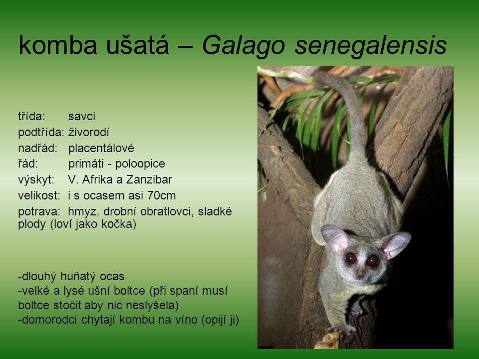 komba ušatá – Galago senegalensis třída: savci podtřída: živorodí nadřád: placentálové řád: primáti - poloopice výskyt: V. Afrika a Zanzibar velikost: