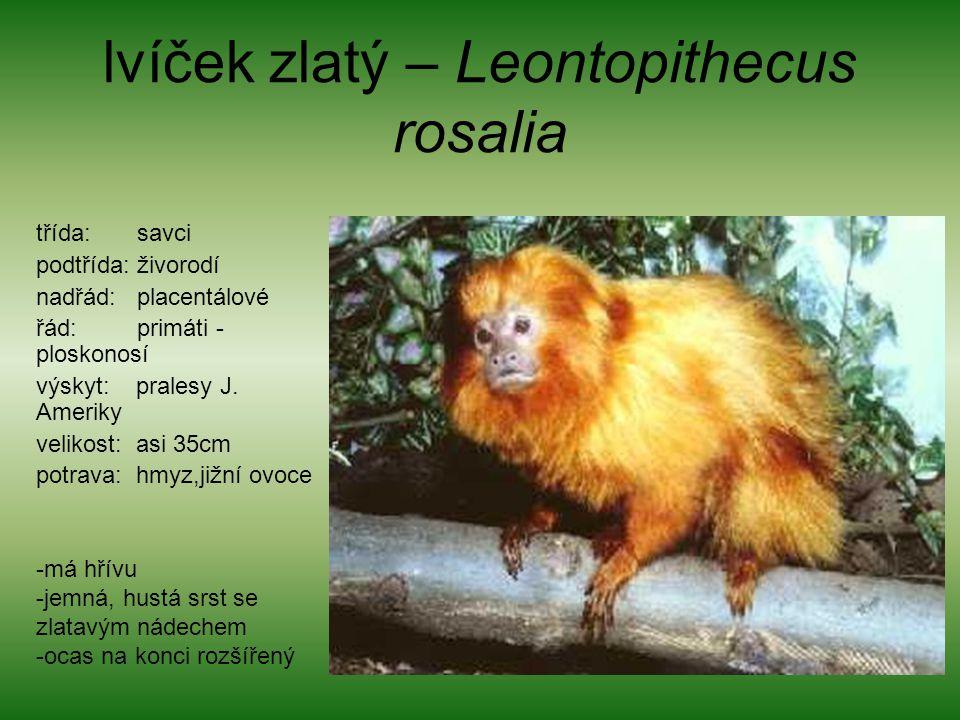 lvíček zlatý – Leontopithecus rosalia třída: savci podtřída: živorodí nadřád: placentálové řád: primáti - ploskonosí výskyt: pralesy J. Ameriky veliko