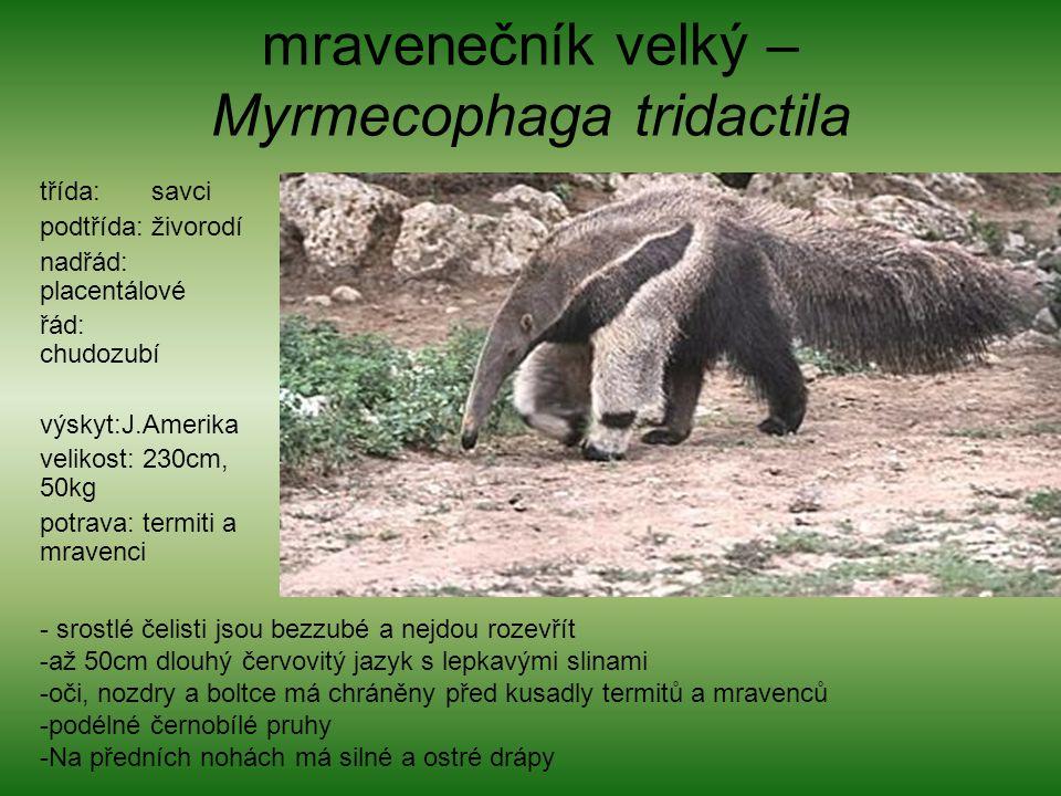 mravenečník velký – Myrmecophaga tridactila třída: savci podtřída: živorodí nadřád: placentálové řád: chudozubí výskyt:J.Amerika velikost: 230cm, 50kg