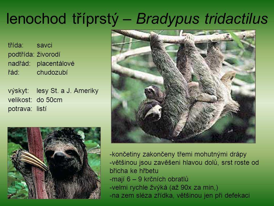 lenochod tříprstý – Bradypus tridactilus třída: savci podtřída: živorodí nadřád: placentálové řád: chudozubí výskyt: lesy St. a J. Ameriky velikost: d