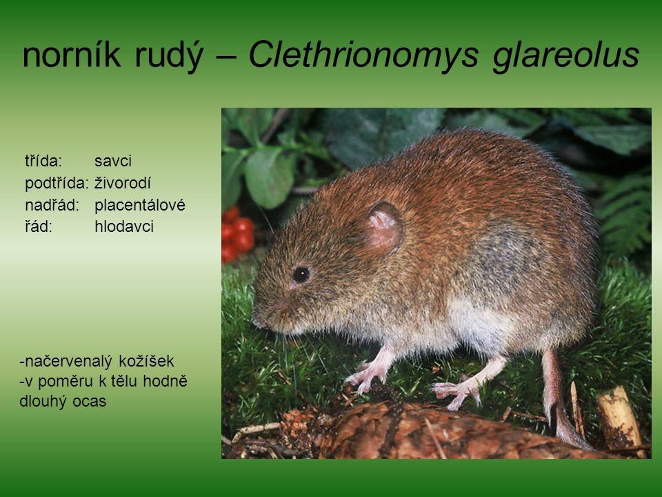 norník rudý – Clethrionomys glareolus třída: savci podtřída: živorodí nadřád: placentálové řád: hlodavci -načervenalý kožíšek -v poměru k tělu hodně d