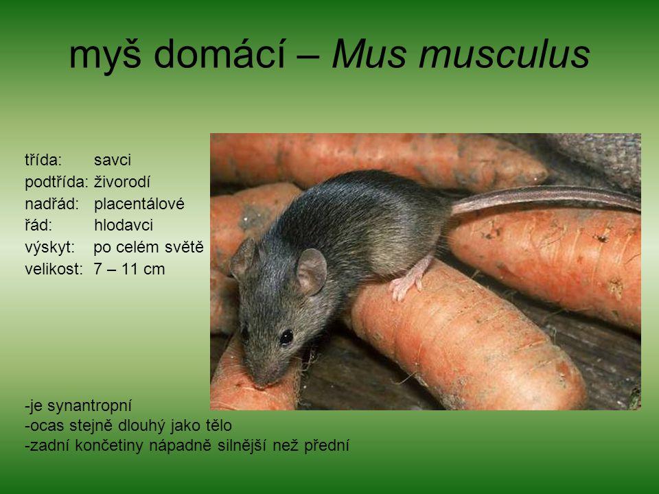 myš domácí – Mus musculus třída: savci podtřída: živorodí nadřád: placentálové řád: hlodavci výskyt: po celém světě velikost: 7 – 11 cm -je synantropn