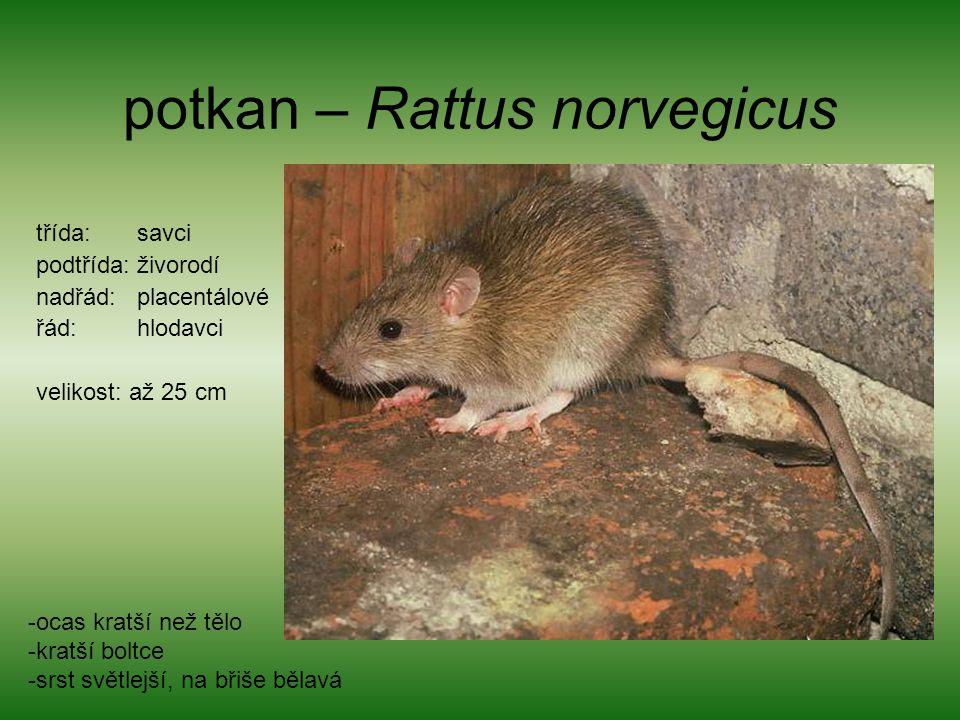 potkan – Rattus norvegicus třída: savci podtřída: živorodí nadřád: placentálové řád: hlodavci velikost: až 25 cm -ocas kratší než tělo -kratší boltce