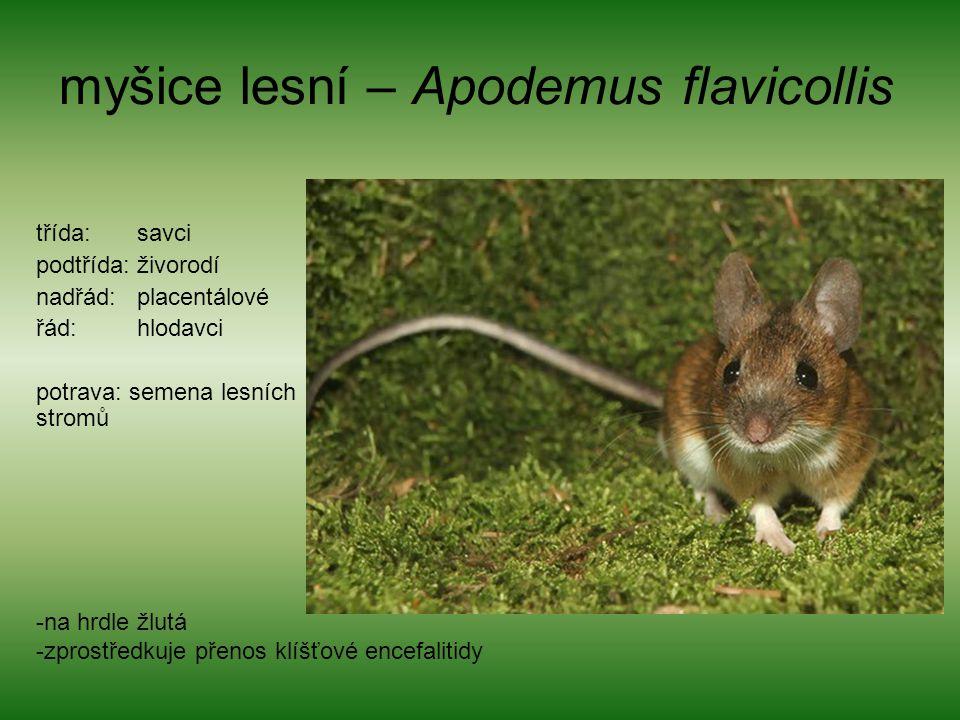 myšice lesní – Apodemus flavicollis třída: savci podtřída: živorodí nadřád: placentálové řád: hlodavci potrava: semena lesních stromů -na hrdle žlutá