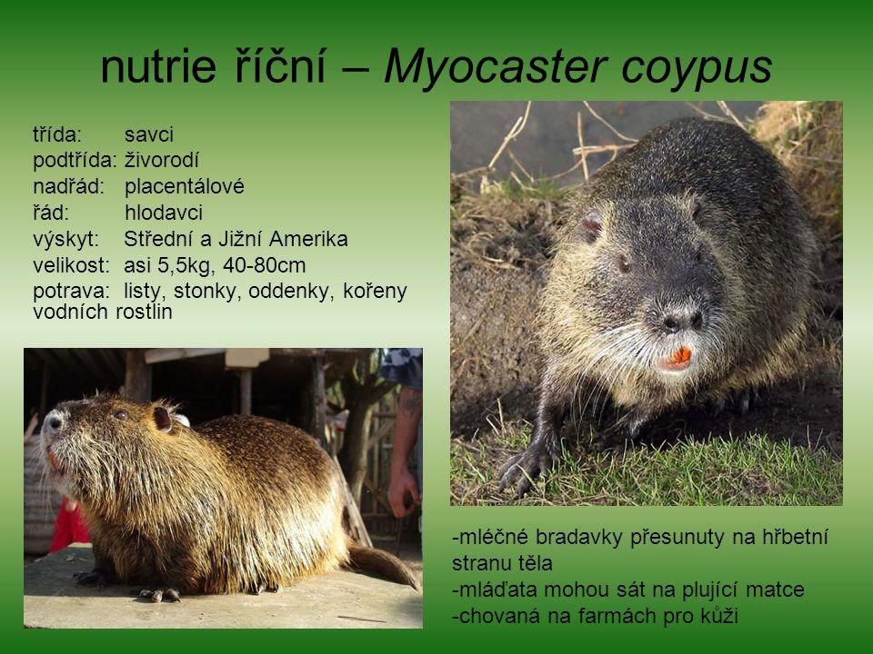 nutrie říční – Myocaster coypus třída: savci podtřída: živorodí nadřád: placentálové řád: hlodavci výskyt: Střední a Jižní Amerika velikost: asi 5,5kg