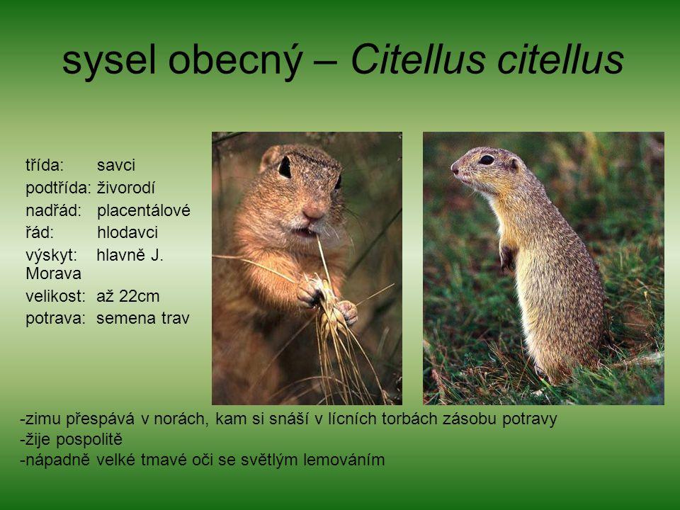sysel obecný – Citellus citellus třída: savci podtřída: živorodí nadřád: placentálové řád: hlodavci výskyt: hlavně J. Morava velikost: až 22cm potrava