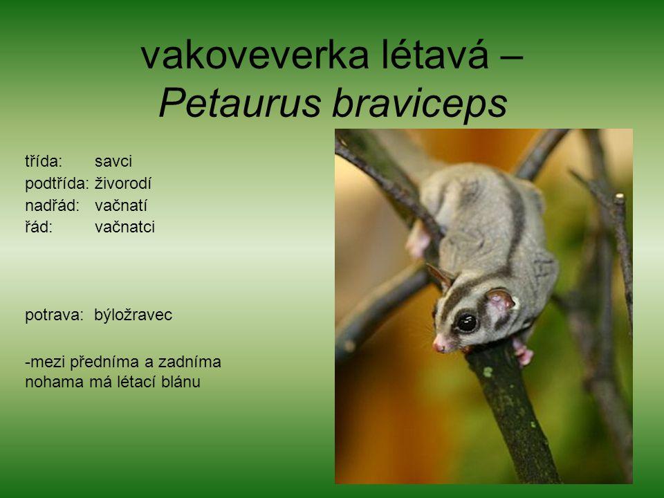 vakoveverka létavá – Petaurus braviceps třída: savci podtřída: živorodí nadřád: vačnatí řád: vačnatci potrava: býložravec -mezi předníma a zadníma noh