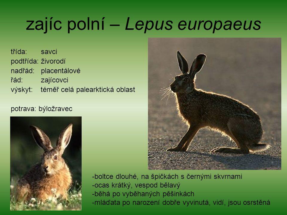 zajíc polní – Lepus europaeus třída: savci podtřída: živorodí nadřád: placentálové řád: zajícovci výskyt: téměř celá palearktická oblast potrava: býlo