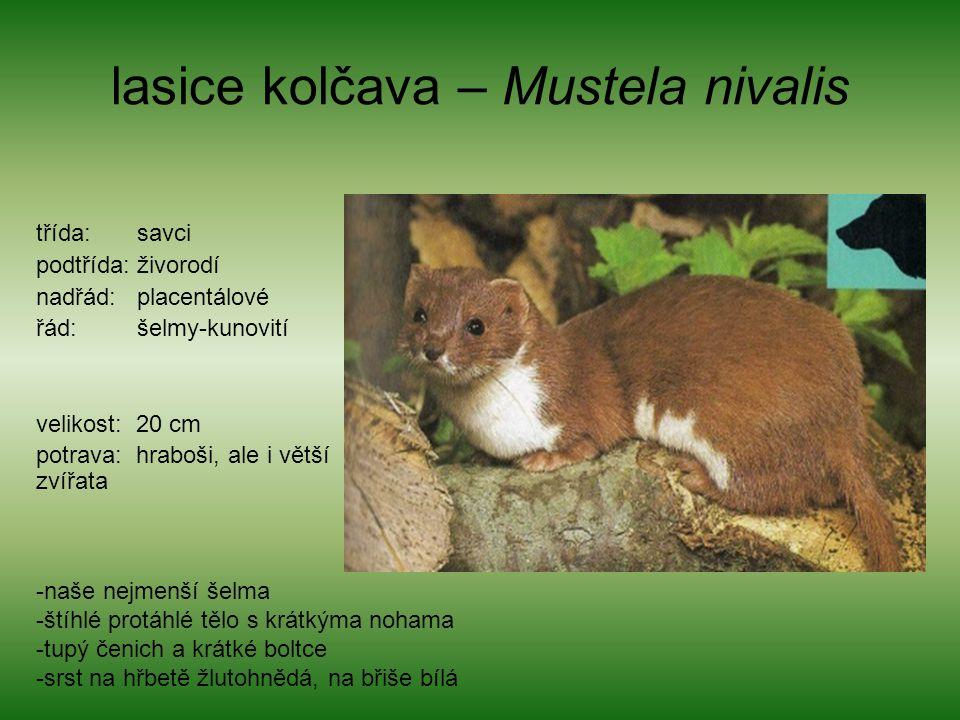 lasice kolčava – Mustela nivalis třída: savci podtřída: živorodí nadřád: placentálové řád: šelmy-kunovití velikost: 20 cm potrava: hraboši, ale i větš