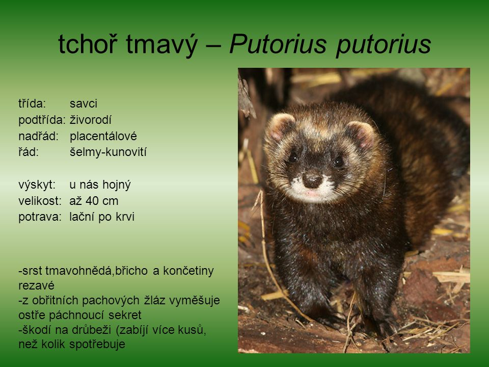 tchoř tmavý – Putorius putorius třída: savci podtřída: živorodí nadřád: placentálové řád: šelmy-kunovití výskyt: u nás hojný velikost: až 40 cm potrav