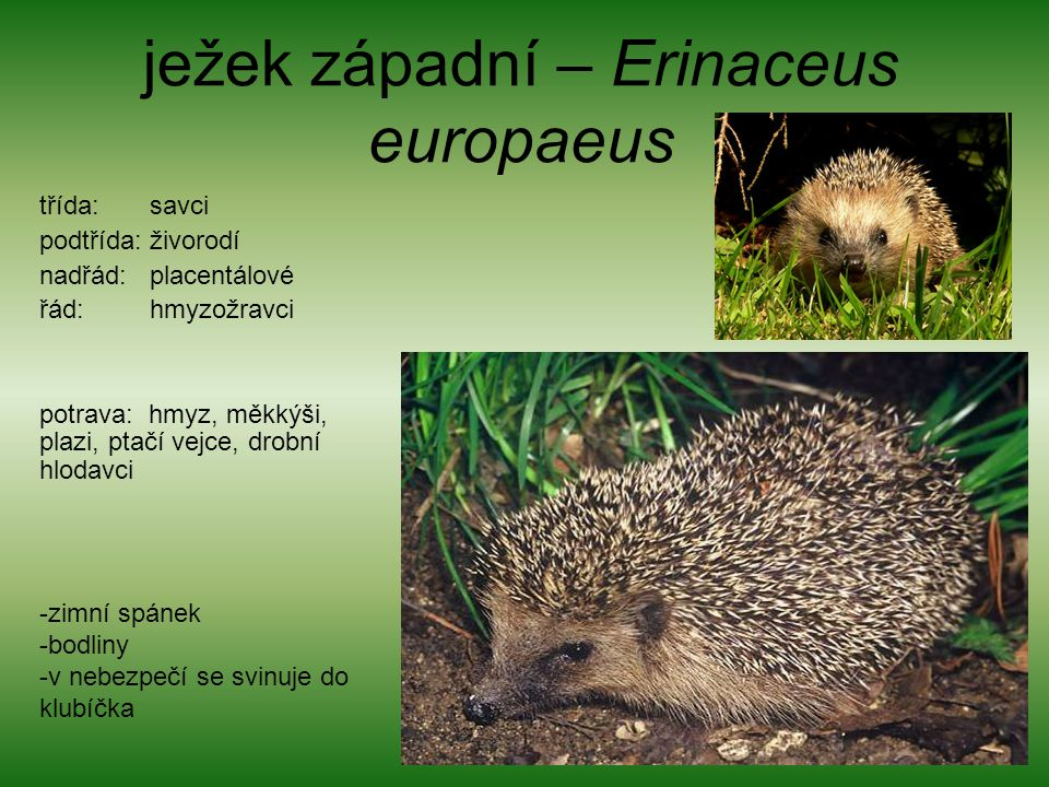 ježek západní – Erinaceus europaeus třída: savci podtřída: živorodí nadřád: placentálové řád: hmyzožravci potrava: hmyz, měkkýši, plazi, ptačí vejce,