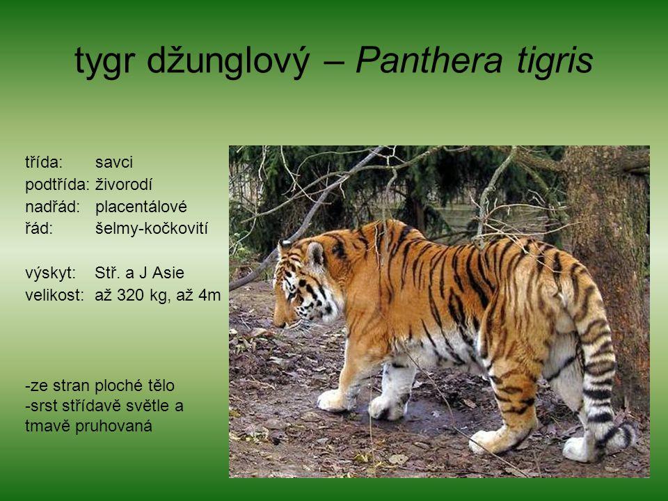 tygr džunglový – Panthera tigris třída: savci podtřída: živorodí nadřád: placentálové řád: šelmy-kočkovití výskyt: Stř. a J Asie velikost: až 320 kg,