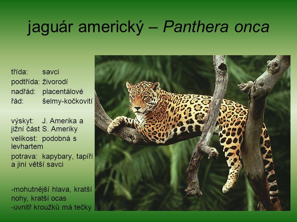 jaguár americký – Panthera onca třída: savci podtřída: živorodí nadřád: placentálové řád: šelmy-kočkovití výskyt: J. Amerika a jižní část S. Ameriky v