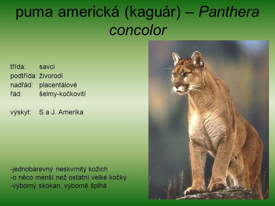 puma americká (kaguár) – Panthera concolor třída: savci podtřída: živorodí nadřád: placentálové řád: šelmy-kočkovití výskyt: S.a J. Amerika -jednobare