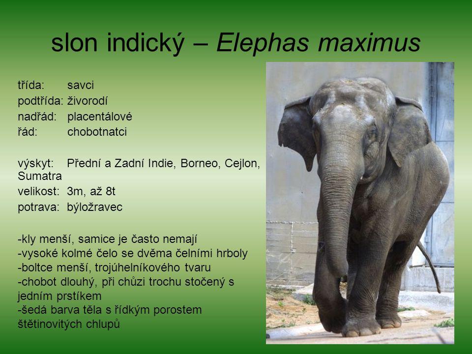 slon indický – Elephas maximus třída: savci podtřída: živorodí nadřád: placentálové řád: chobotnatci výskyt: Přední a Zadní Indie, Borneo, Cejlon, Sum