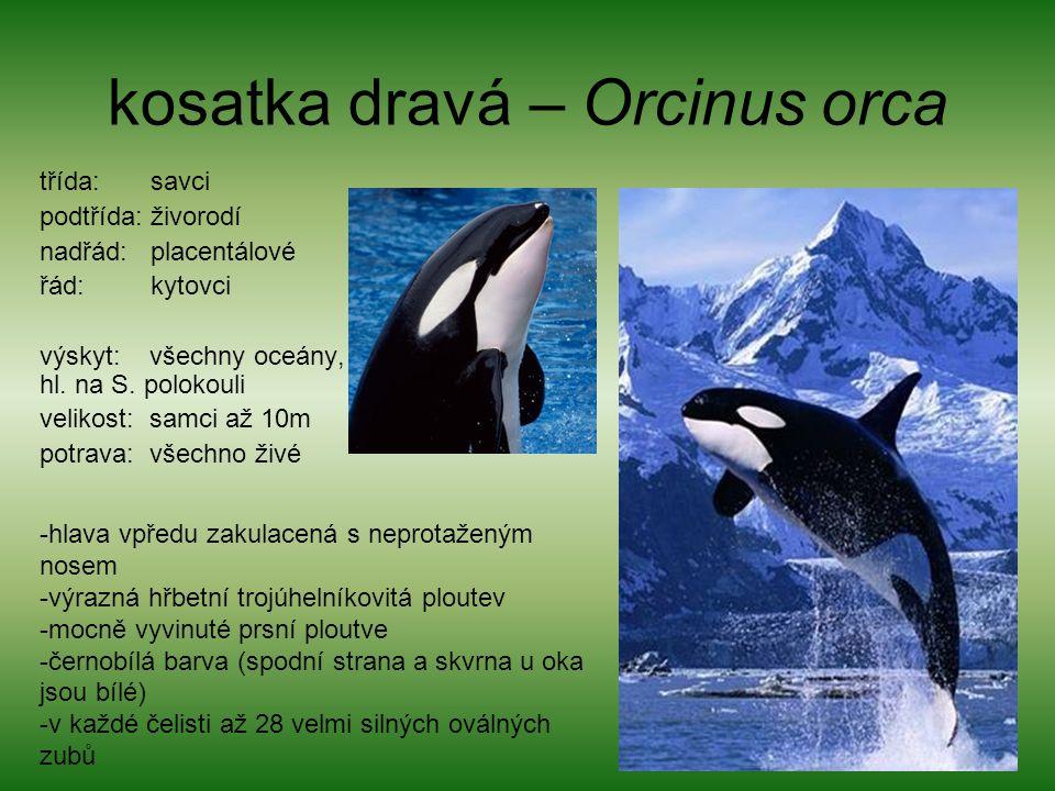 kosatka dravá – Orcinus orca třída: savci podtřída: živorodí nadřád: placentálové řád: kytovci výskyt: všechny oceány, hl. na S. polokouli velikost: s
