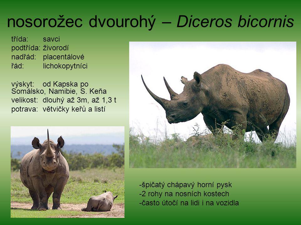 nosorožec dvourohý – Diceros bicornis třída: savci podtřída: živorodí nadřád: placentálové řád: lichokopytníci výskyt: od Kapska po Somálsko, Namibie,