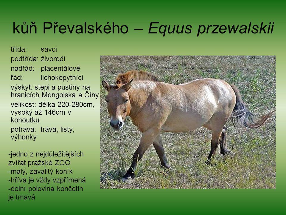kůň Převalského – Equus przewalskii třída: savci podtřída: živorodí nadřád: placentálové řád: lichokopytníci výskyt: stepi a pustiny na hranicích Mong