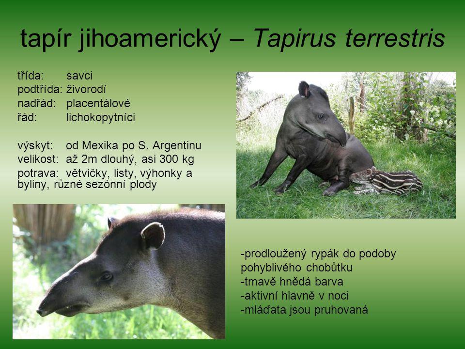tapír jihoamerický – Tapirus terrestris třída: savci podtřída: živorodí nadřád: placentálové řád: lichokopytníci výskyt: od Mexika po S. Argentinu vel