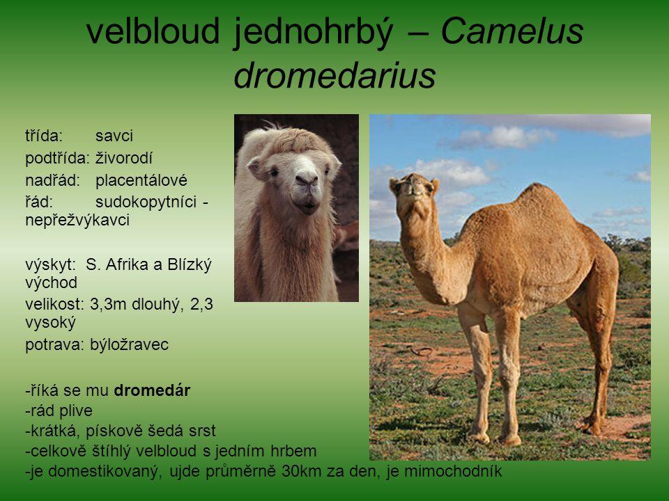 velbloud jednohrbý – Camelus dromedarius třída: savci podtřída: živorodí nadřád: placentálové řád: sudokopytníci - nepřežvýkavci výskyt: S. Afrika a B