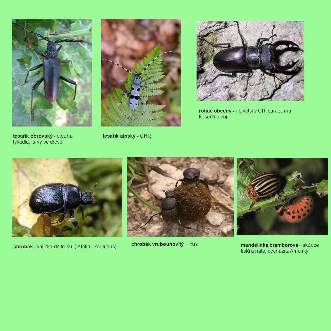 tesařík obrovský - dlouhá tykadla, larvy ve dřevě tesařík alpský - CHR roháč obecný - největší v ČR, samec má kusadla - boj chrobák - vajíčka do trusu ( Afrika - koulí trus) chrobák vrubounovitý - trus mandelinka bramborová - škůdce listů a natě, pochází z Ameriky