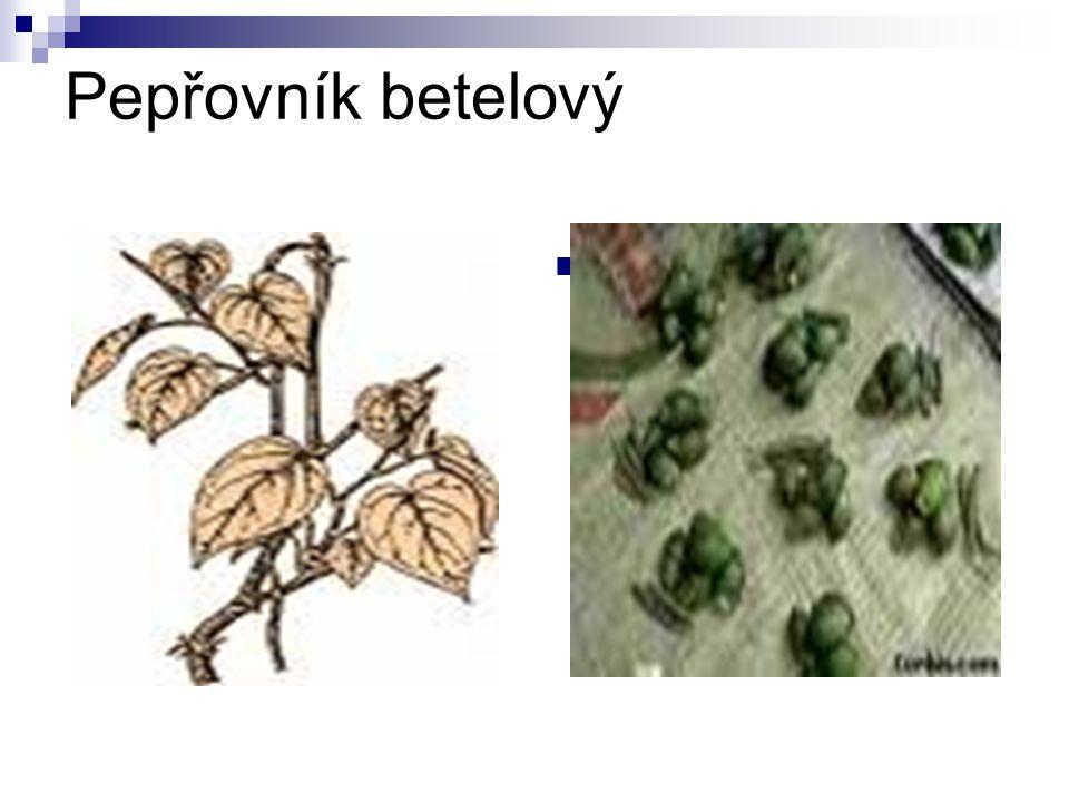 Pepřovník betelový