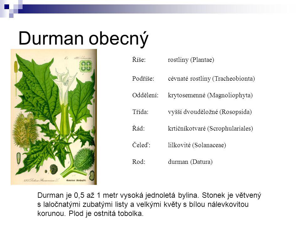 Durman obecný Říše:rostliny (Plantae) Podříše:cévnaté rostliny (Tracheobionta) Oddělení:krytosemenné (Magnoliophyta) Třída:vyšší dvouděložné (Rosopsid