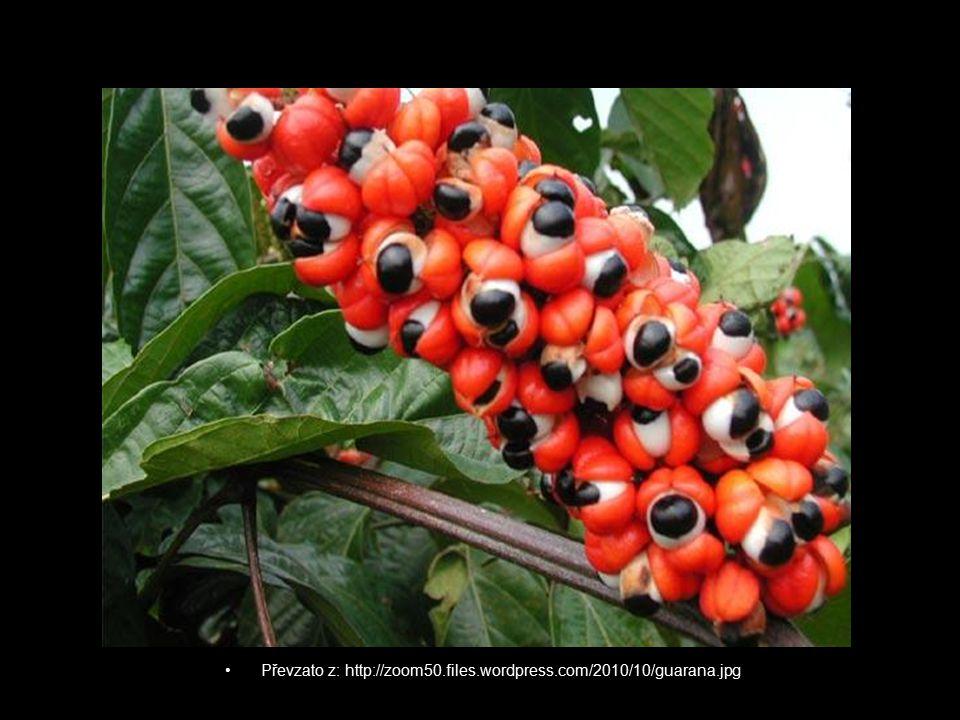 """Guarana- """"velký strom lesa Využívána jsou semenaVyužívána jsou semena Od nepaměti využívána jako posvátná rostlina, poskytující sílu, vytrvalost a bdělost ducha.Od nepaměti využívána jako posvátná rostlina, poskytující sílu, vytrvalost a bdělost ducha."""