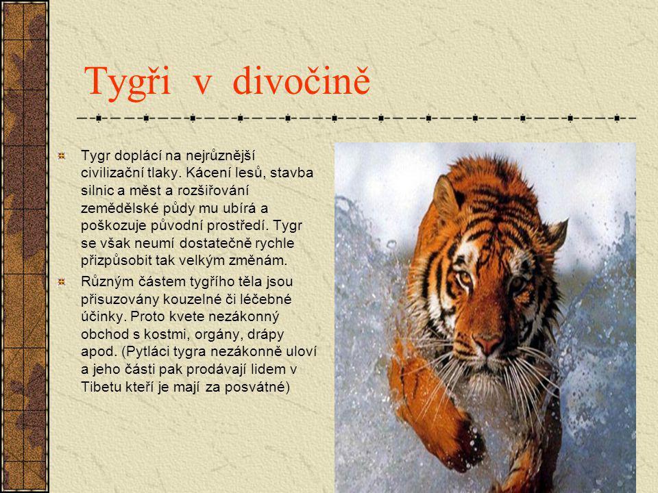Tygři v divočině Tygr doplácí na nejrůznější civilizační tlaky. Kácení lesů, stavba silnic a měst a rozšiřování zemědělské půdy mu ubírá a poškozuje p