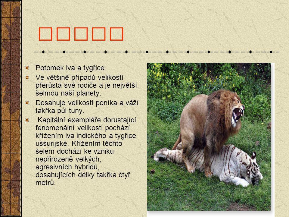Liger Potomek lva a tygřice. Ve většině případů velikostí přerůstá své rodiče a je největší šelmou naší planety. Dosahuje velikosti poníka a váží takř