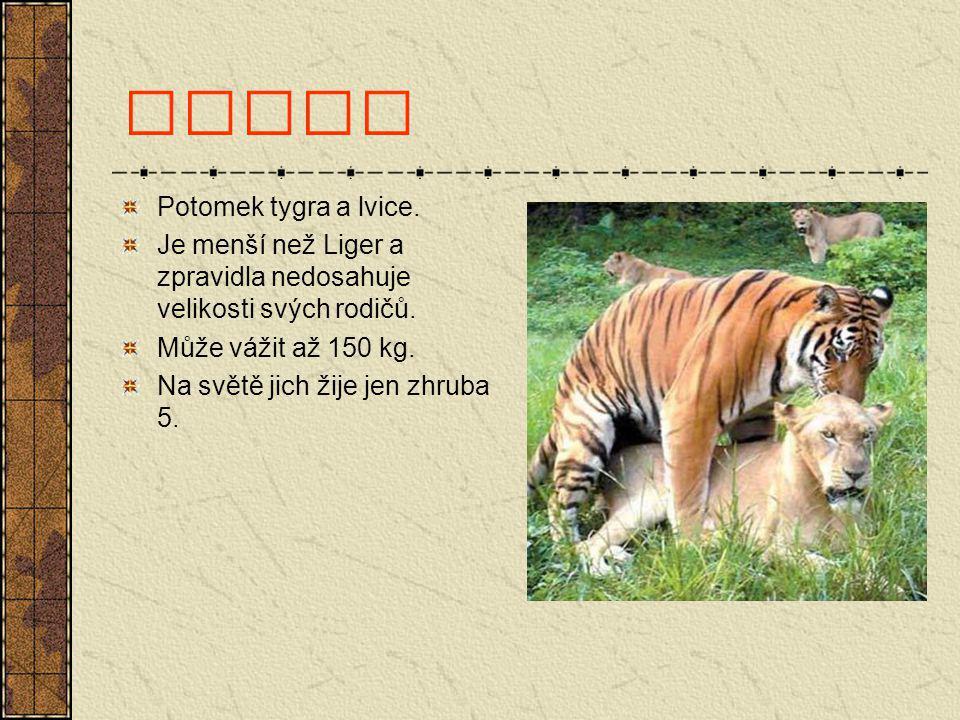 Tigon Potomek tygra a lvice. Je menší než Liger a zpravidla nedosahuje velikosti svých rodičů. Může vážit až 150 kg. Na světě jich žije jen zhruba 5.