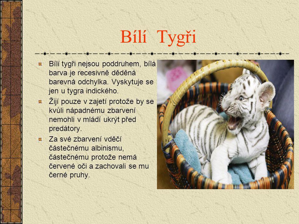 Bílí Tygři Bílí tygři nejsou poddruhem, bílá barva je recesivně děděná barevná odchylka. Vyskytuje se jen u tygra indického. Žijí pouze v zajetí proto