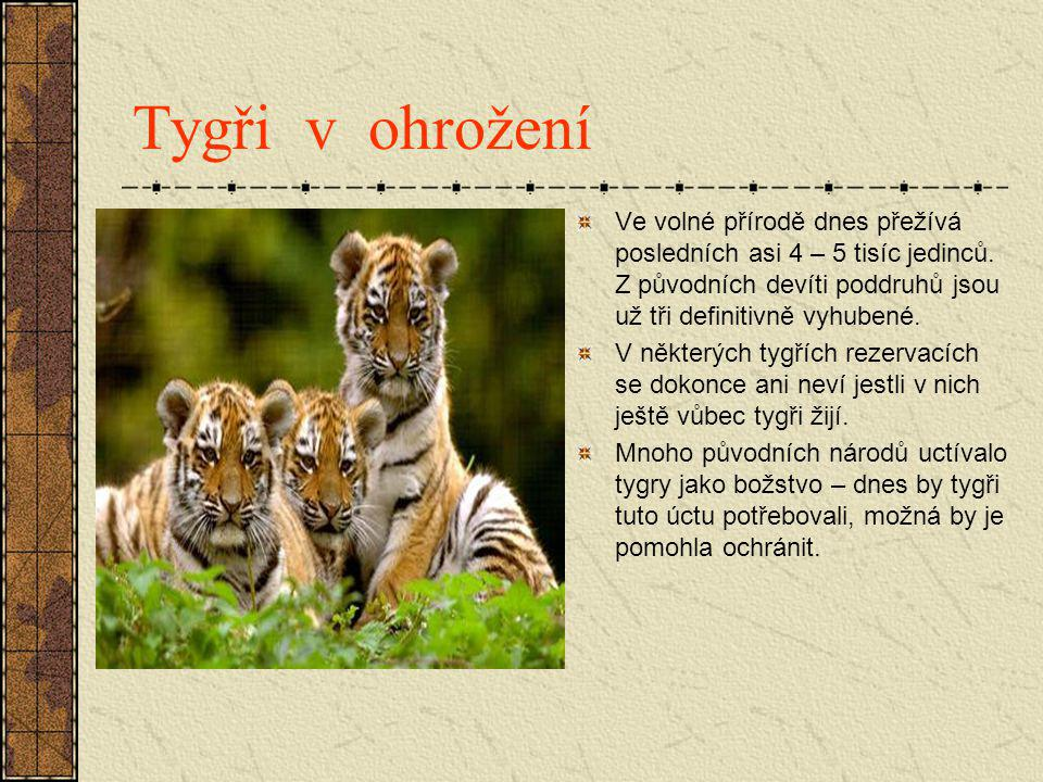Tygři v ohrožení Ve volné přírodě dnes přežívá posledních asi 4 – 5 tisíc jedinců. Z původních devíti poddruhů jsou už tři definitivně vyhubené. V něk