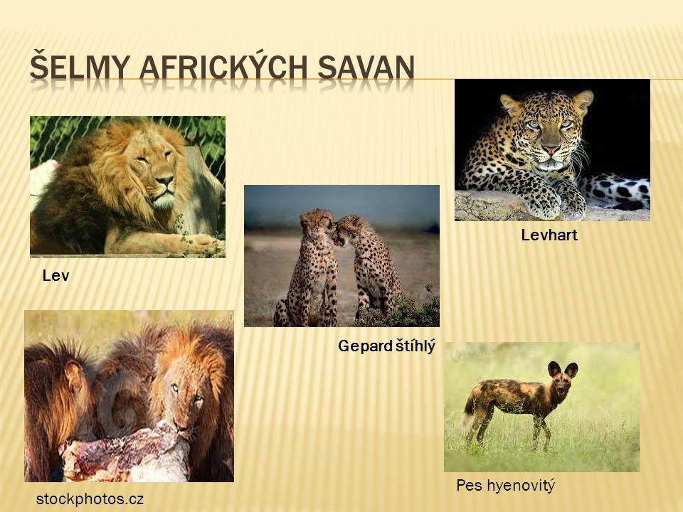 Lev Gepard štíhlý Pes hyenovitý stockphotos.cz Levhart