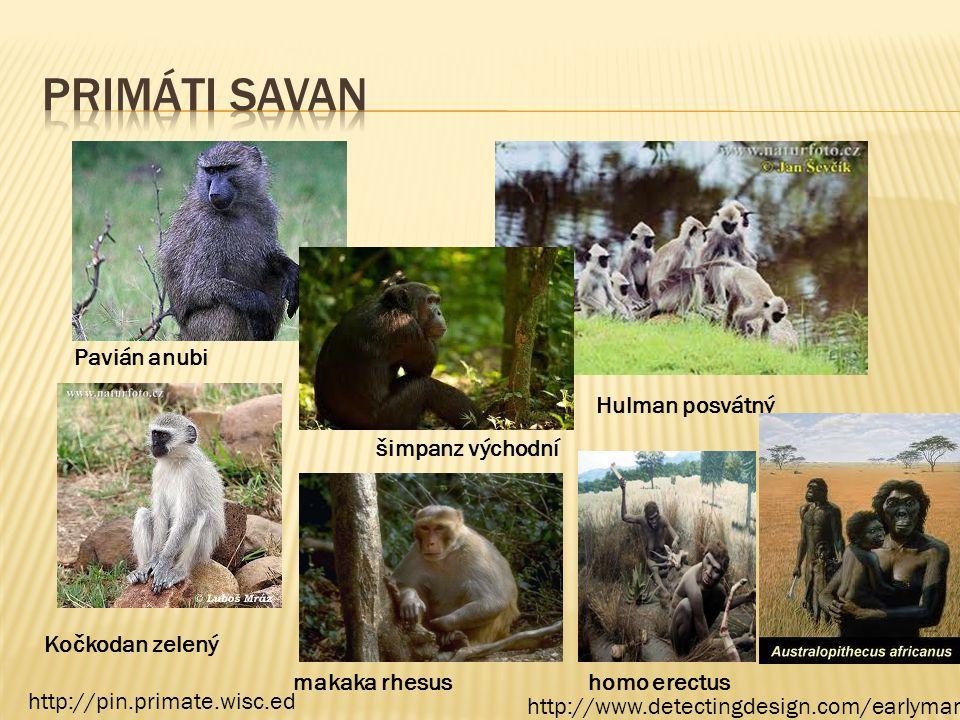 Pavián anubi Kočkodan zelený Hulman posvátný šimpanz východní makaka rhesushomo erectus http://pin.primate.wisc.ed http://www.detectingdesign.com/earl