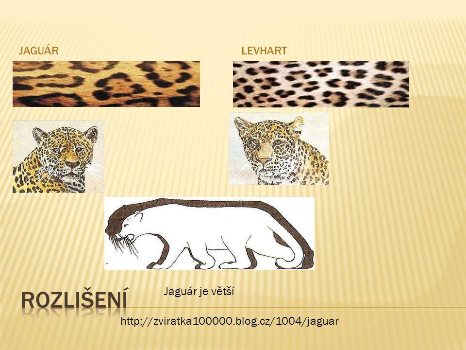 JAGUÁRLEVHART http://zviratka100000.blog.cz/1004/jaguar Jaguár je větší