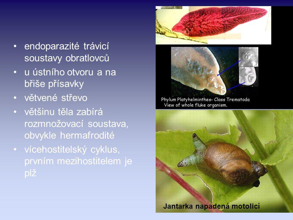 endoparazité trávicí soustavy obratlovců u ústního otvoru a na břiše přísavky větvené střevo většinu těla zabírá rozmnožovací soustava, obvykle hermaf