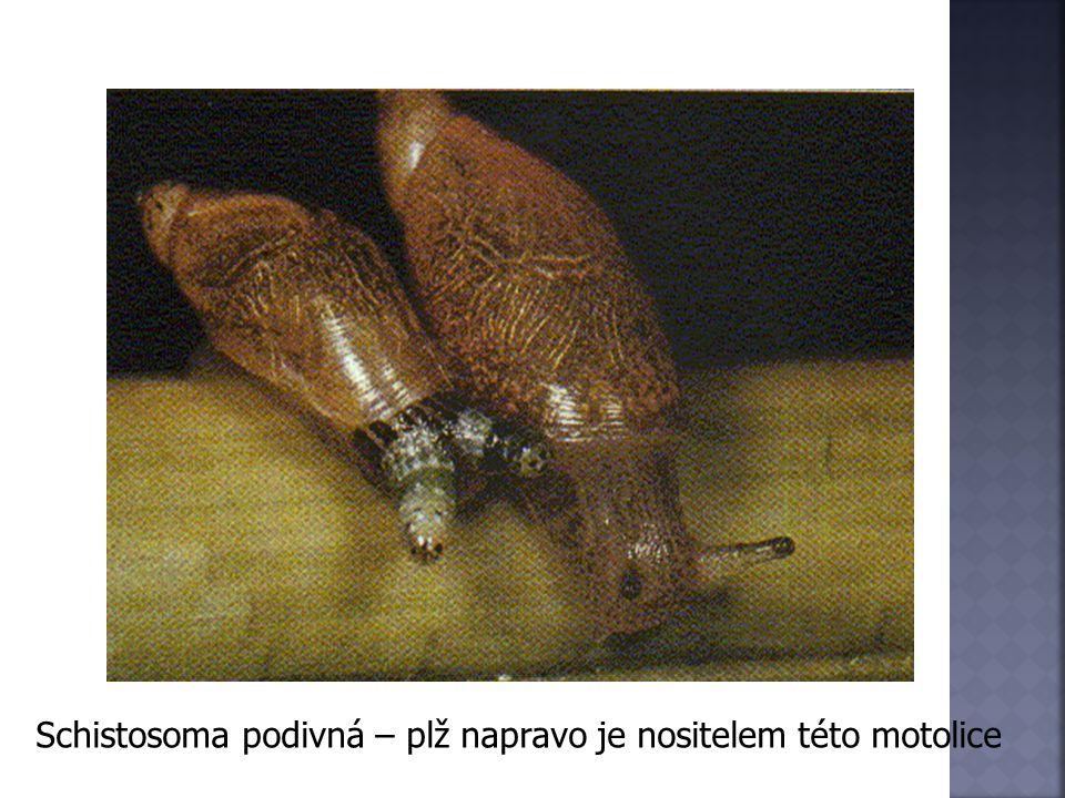 Schistosoma podivná – plž napravo je nositelem této motolice